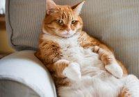 Толстый кот, пропагандирующий ЗОЖ, стал звездой Интернета (ВИДЕО)