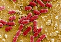 Найдена кишечная бактерия, которая мешает похудеть