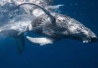 В Новой Зеландии 2 горбатых кита выбросились на берег (ВИДЕО)