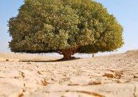 Удивительное дерево посередине пустыни, под которым отдыхал маленький Мухаммад (мир ему)