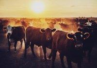 В США коровы поймали автоугонщицу (ВИДЕО)