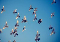 100 белых голубей поднимутся над Магасом в Курбан-байрам