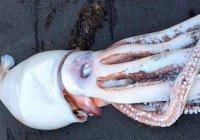 Гигантского кальмара нашли в Новой Зеландии