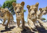 Толпа львов устроила пробку в ЮАР