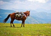 «Туристических» лошадей выведут на Алтае