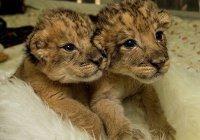 Первые в мире «львята из пробирки» родились в ЮАР