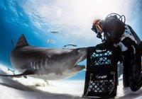 На Багамах дайвер загипнотизировал акулу (ВИДЕО)
