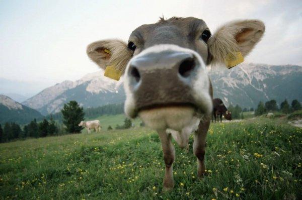 После соблюдения некоторых пограничных формальностей все 178 голов скота были возвращены на родину