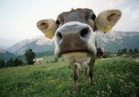 Украинские коровы стали сбегать в Белоруссию