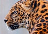 В Индии собака дала отпор леопарду (ВИДЕО)