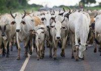 Корову-мутанта нашли в Бразилии (ВИДЕО)
