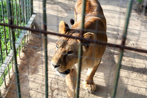 Одна из львиц укусила потревожившего ее мужчину за большой палец ноги