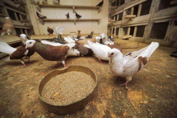 Запрет нацелен на профилактику распространения инфекций, переносимых голубями