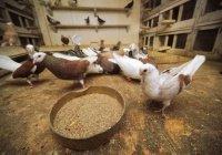 В Бангкоке за кормление голубей грозит тюрьма