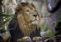 11 редких львов таинственно погибли в Индии