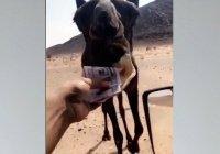 Жителя Саудовской Аравии, скормившего верблюду $4 тыс., раскритиковали в соцсетях
