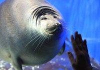 Круглый тюлень стал звездой океанариума в Японии (ВИДЕО)