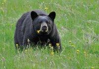 В США мертвый медведь отомстил охотнику