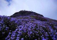 Уникальные цветы Куринджи распустились в Индии (ФОТО)