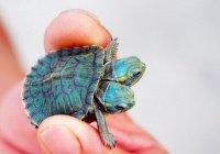 Редкую двухголовую черепаху показали в заповеднике Китая (ВИДЕО)