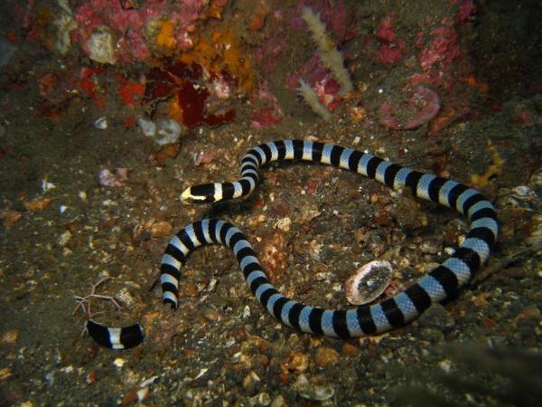 В общей сложности в мире известно 56 видов морских змей