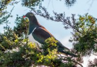 Птицу года выбрали в Новой Зеландии