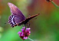Крылья помогают бабочкам слышать