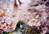 В Японии сакура перепутала осень с весной