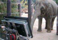 В Японии слониха решает задачи по математики на планшете