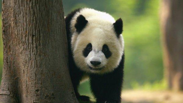 Китай запретил фотографироваться с пандами