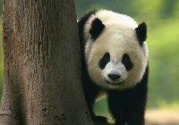 В Китае запретили селфи с пандами
