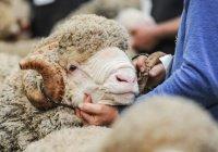 НАСА отправит в глубокий космос шерсть овец