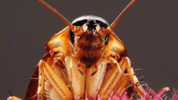 Задней ногой тараканы лягают подкрадывающихся к ним ос