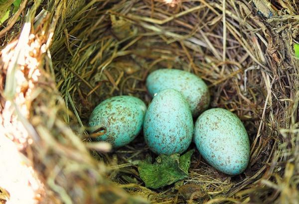 Кроме кладки овираптора биливердин был найден в яйцах еще 7 динозавров