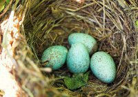 Ученые рассказали, почему у птиц цветные яйца