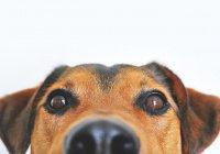 Видеоочки для собак создали во Франции (ВИДЕО)