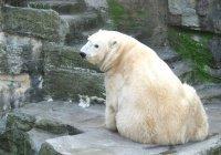 На Чукотке десятки белых медведей с детенышами окружили село