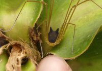 Биологи показали паука-мутанта с головой «собаки»