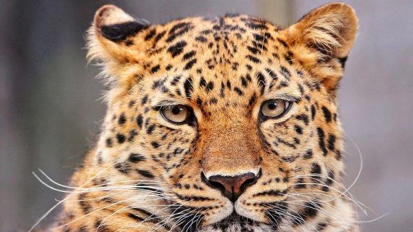«Не каждый день можно увидеть леопарда», — отметил таксист