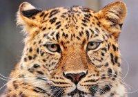 Леопард прокатился в такси Екатеринбурга (ВИДЕО)