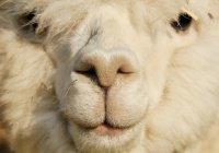 В Перу альпака катается на такси (ВИДЕО)