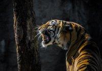 Эксперты сообщили о росте популяции тигров