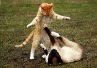 Японских котов, которых не пускают в музеи, пригласили в Россию (ФОТО)