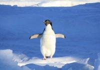 Журналисты спасли в Антарктиде погибающих пингвинят
