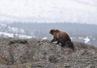 Медведи не могут уснуть из-за отсутствия снега в Финляндии