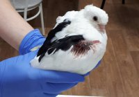В Омске прооперировали умного голубя (ФОТО)