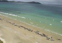 145 черных дельфинов выбросилось на берег в Новой Зеландии