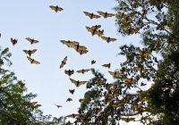 В Австралии из-за жары сотнями гибнут летучие лисицы
