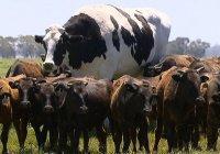 Громадный бык из Австралии избежал смерти и прославился