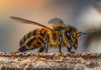 Найдена первая пчела, родившаяся от 2 отцов